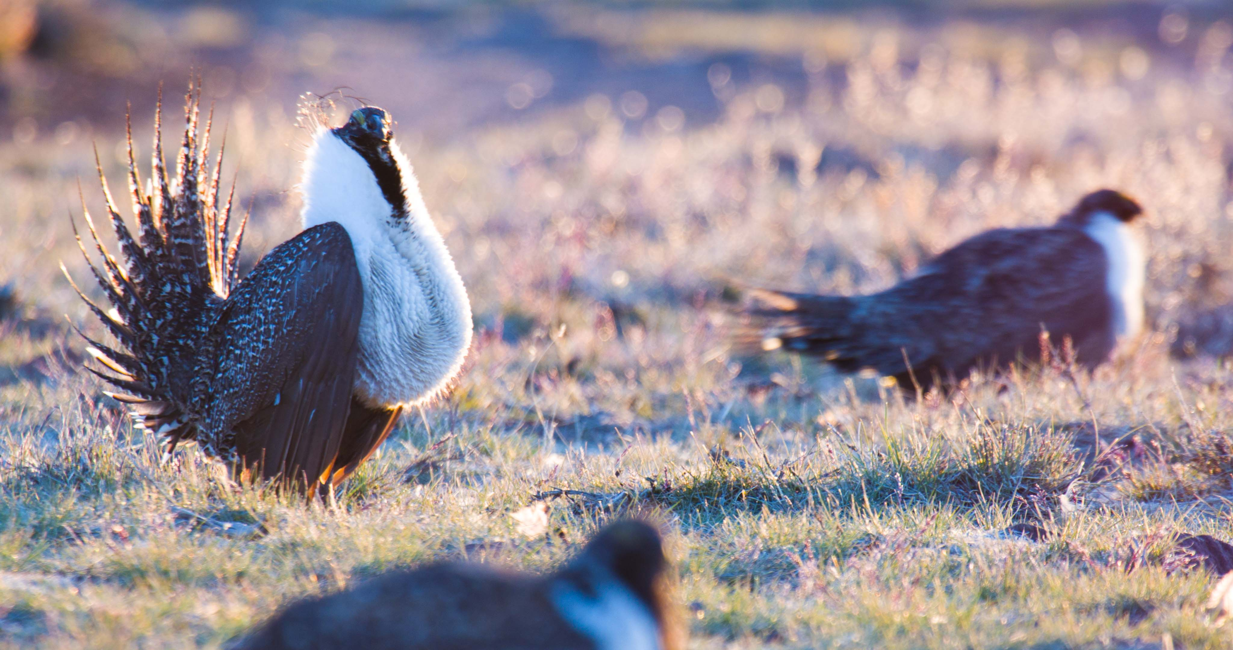 Birdbrained? Trump Admin Attacks 'Historic' 2015 Sage Grouse Plan, Enviro Groups File FOIAs