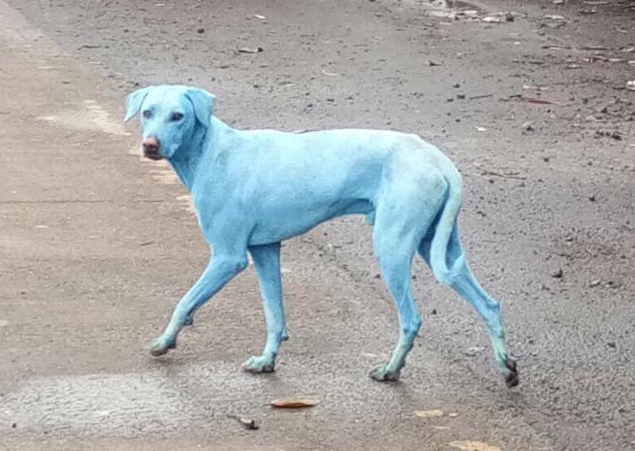 Video: The Bright Blue Dogs of Taloja — Mumbai's 977-Factory, Industrial Waste Zone