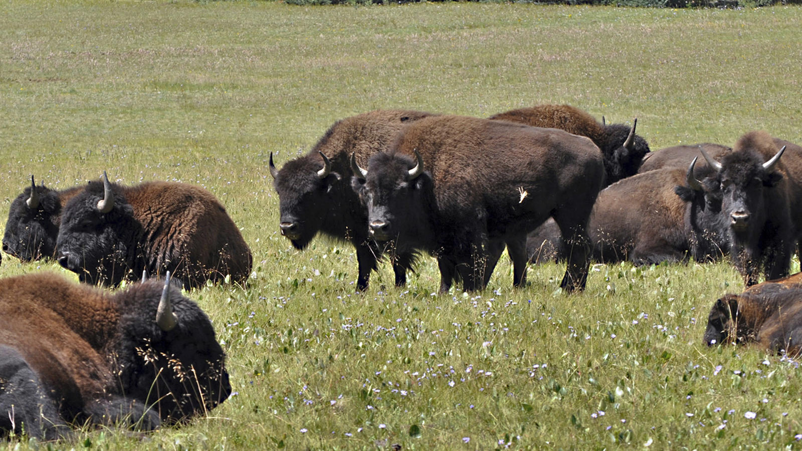 National Park Service Plans Large Bison Hunt to Thin Arizona's Grand Canyon Herd