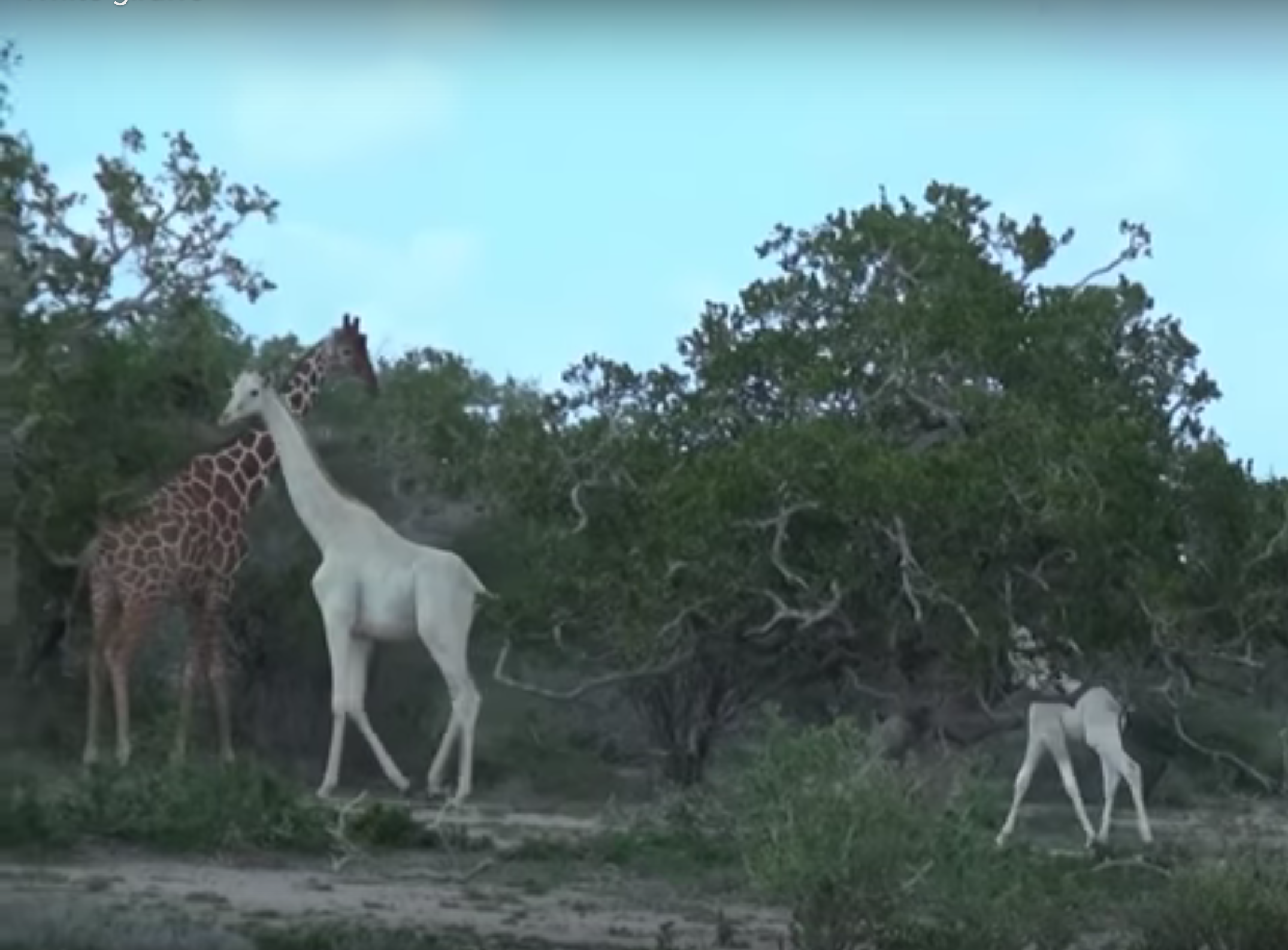 So Cool: Rare, Pure-White Giraffes Filmed in Kenya — Mother With Calf (Video)