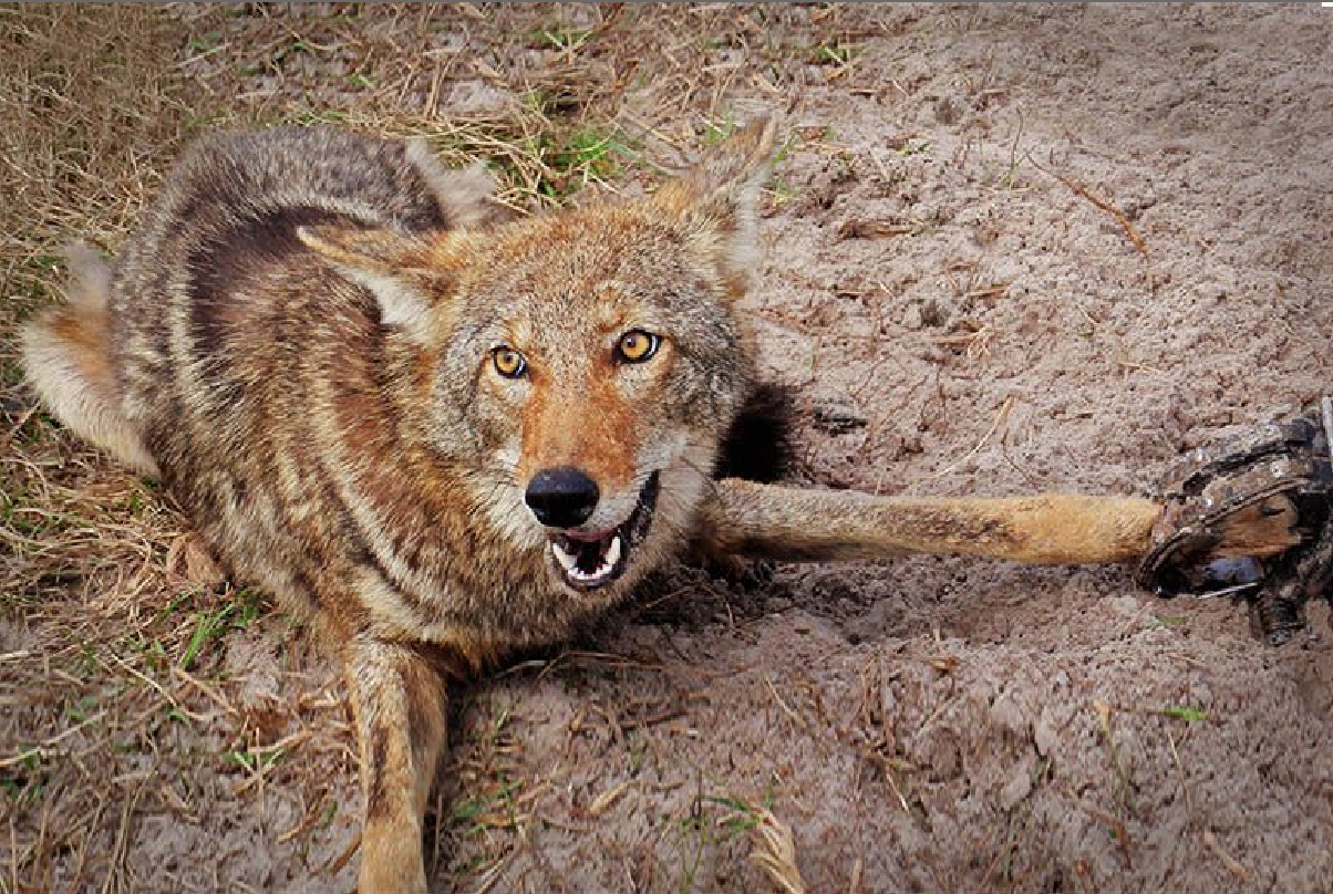 'Big Victory': Fed. Gov's 'Cruel' Wildlife Killing Program Stopped in Court Again, This Time in NorCal