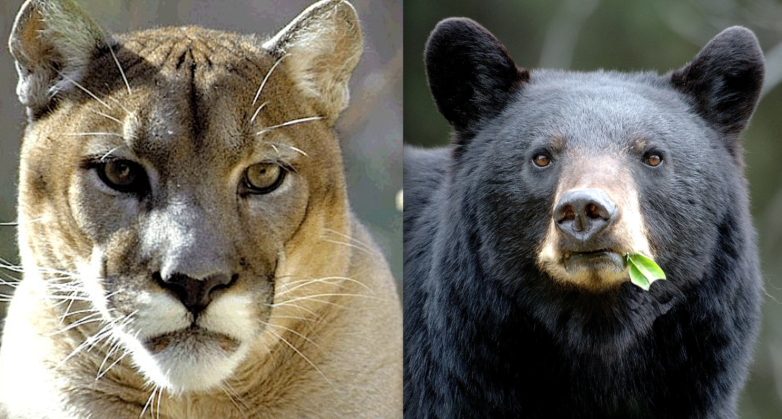 Colorado's Controversial Black Bear, Mountain Lion Killing Plan, Defanged in Federal Court