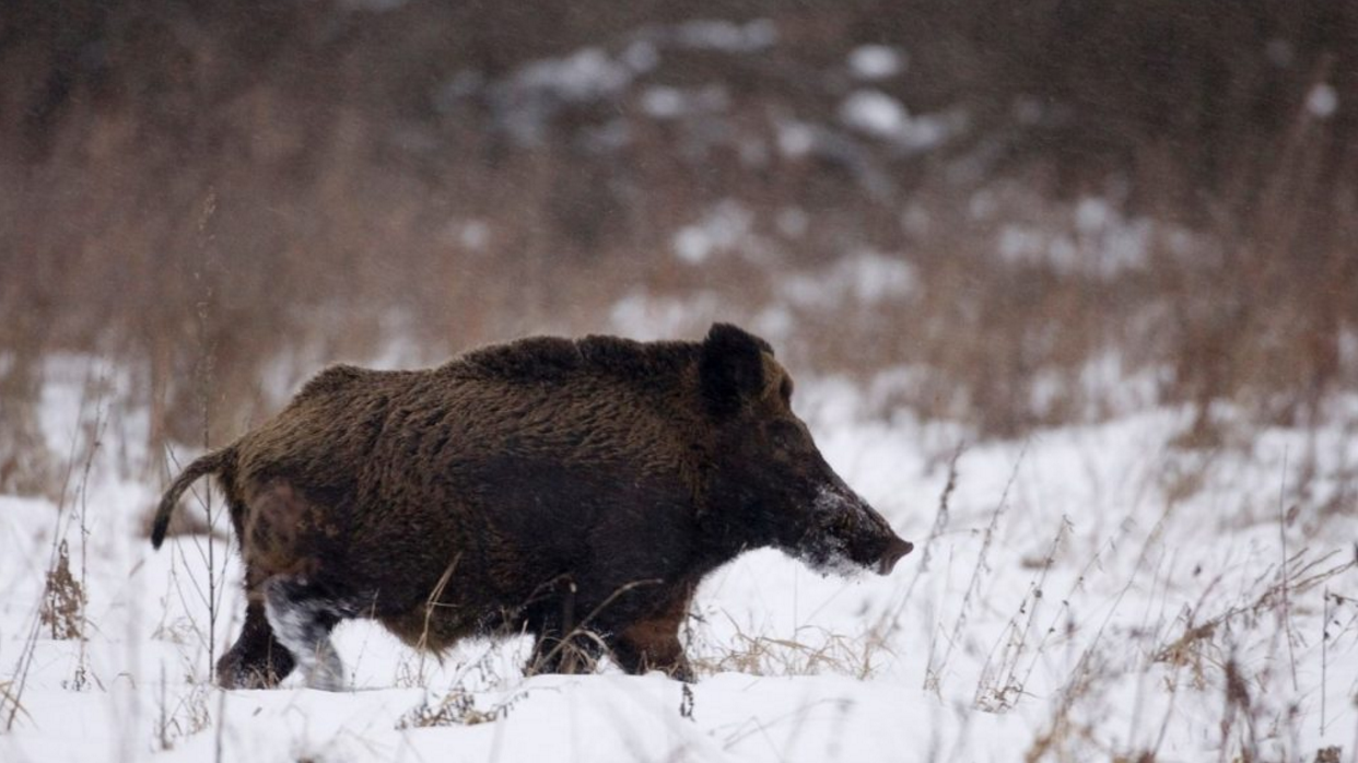 Red Hot Radioactive Wild Boars, Loaded With Chernobyl Fallout, Now Turning up in Sweden