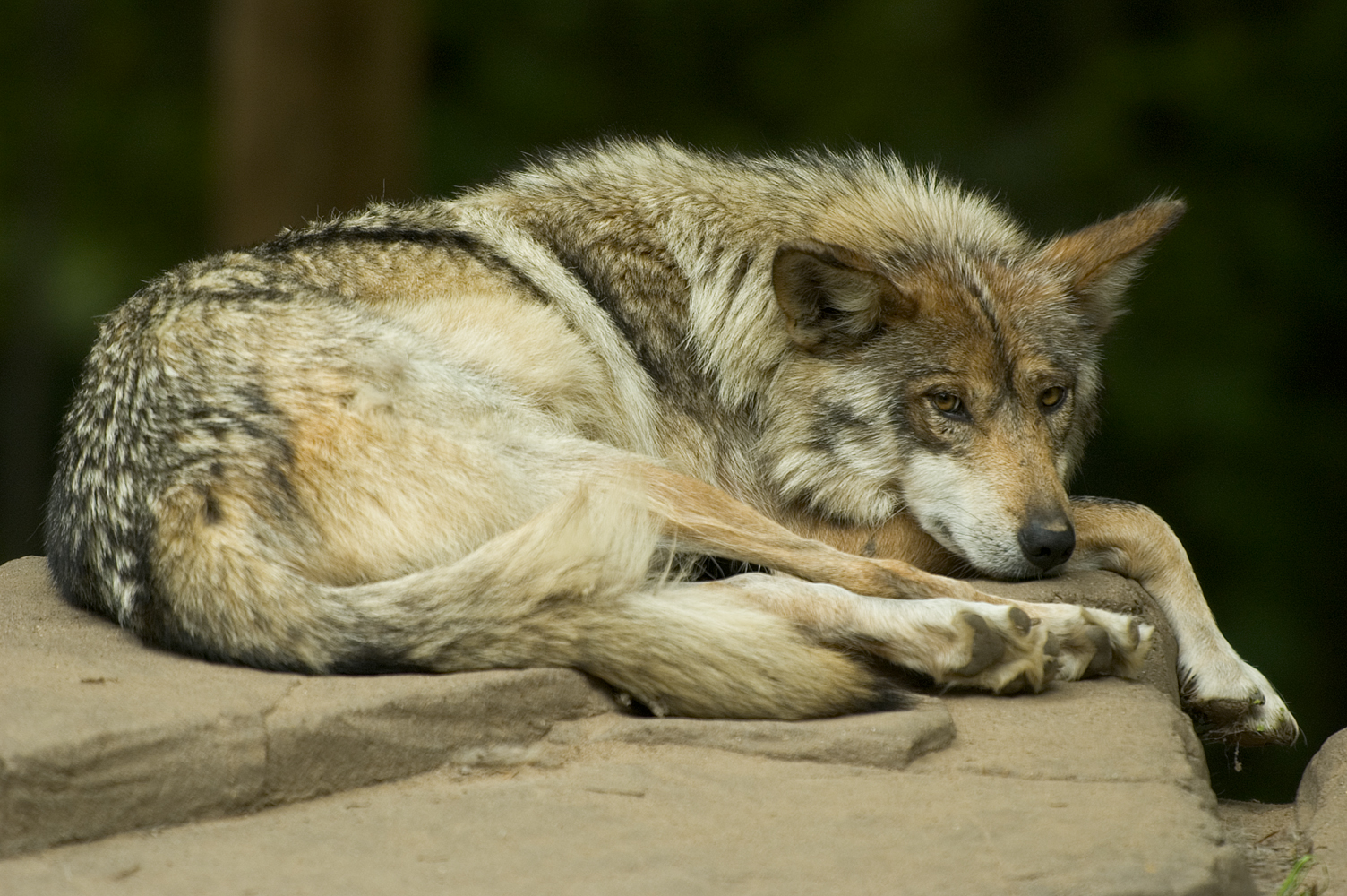 Governments in CO/UT/NM/AZ Deliberately Derailed Mexican Wolf Recovery, Documents Reveal (Investigative Report)