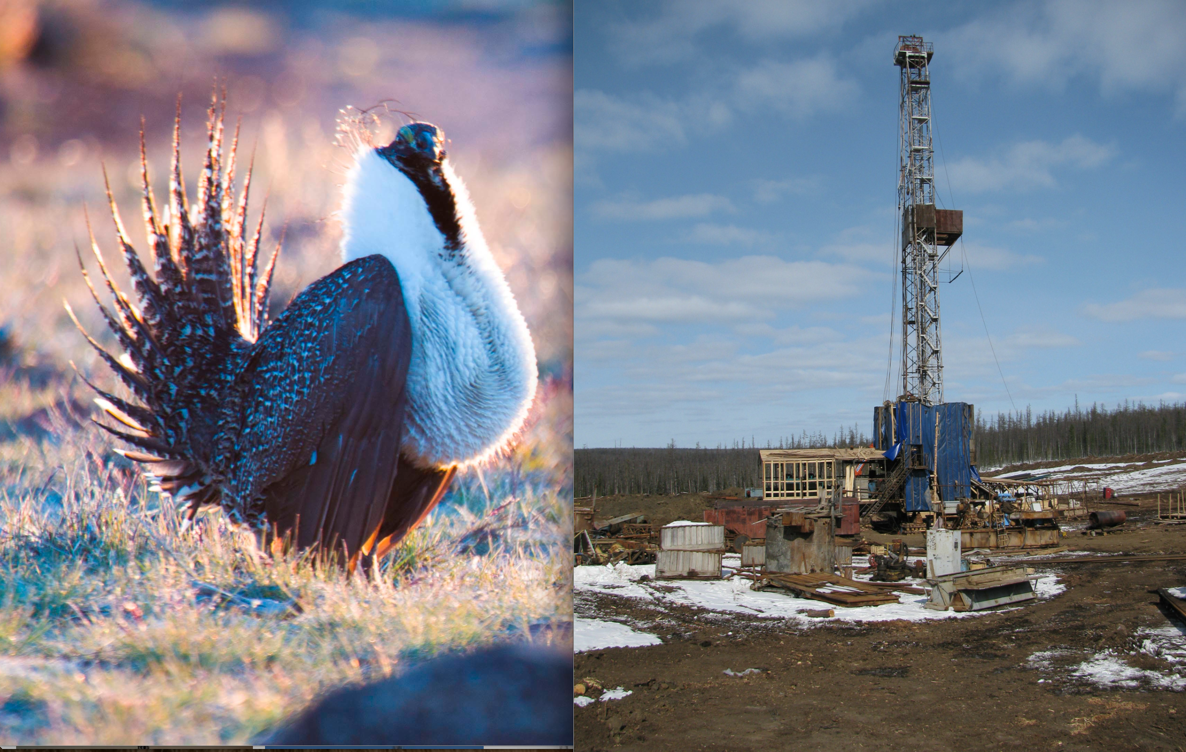 Sage Grouse Saves the Day: BLM Halts Idaho Oil Lease Auction After Protests from Enviro Groups