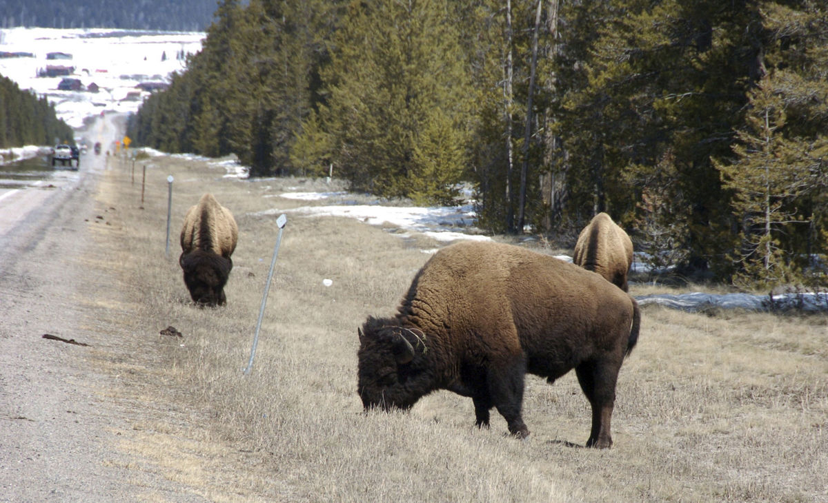 Wyoming Schedules Wild Bison Hunt So a Grand Total of Three Animals Can Be Culled