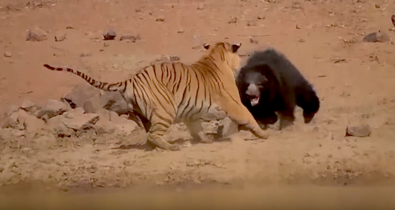 Video: Epic Battle, Incredible Ending, as Mama Sloth Bear Takes on Bengal Tiger in Indian National Park