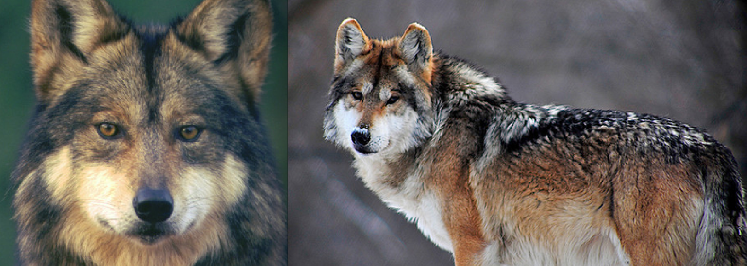 Big Win for 'El Lobo': Fed. Court Strikes Down 'Egregious' Management Rule For Mexican Wolves