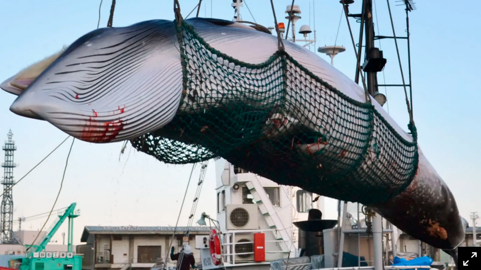 Japan Pulls Out of Intl. No-Whaling Agreement, Commercial Hunts to Commence in 2019
