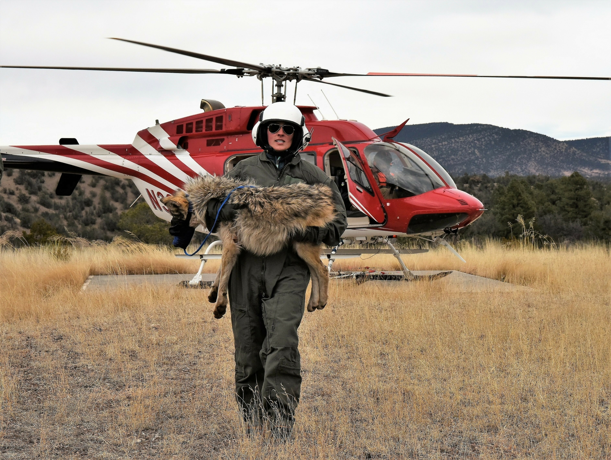 USFWS Hiring 'Wolf Killer' to Trap Endangered Mexican Gray Wolves and Greens Are 'Furious'