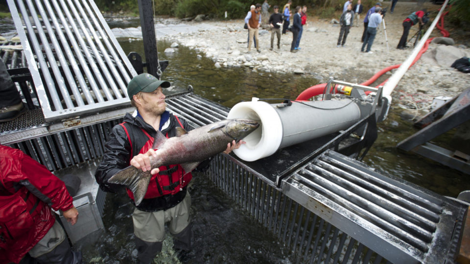 Feat of Engineering: 'Salmon Cannon' Explodes across Internet as Fish Get Free Ride over Dams