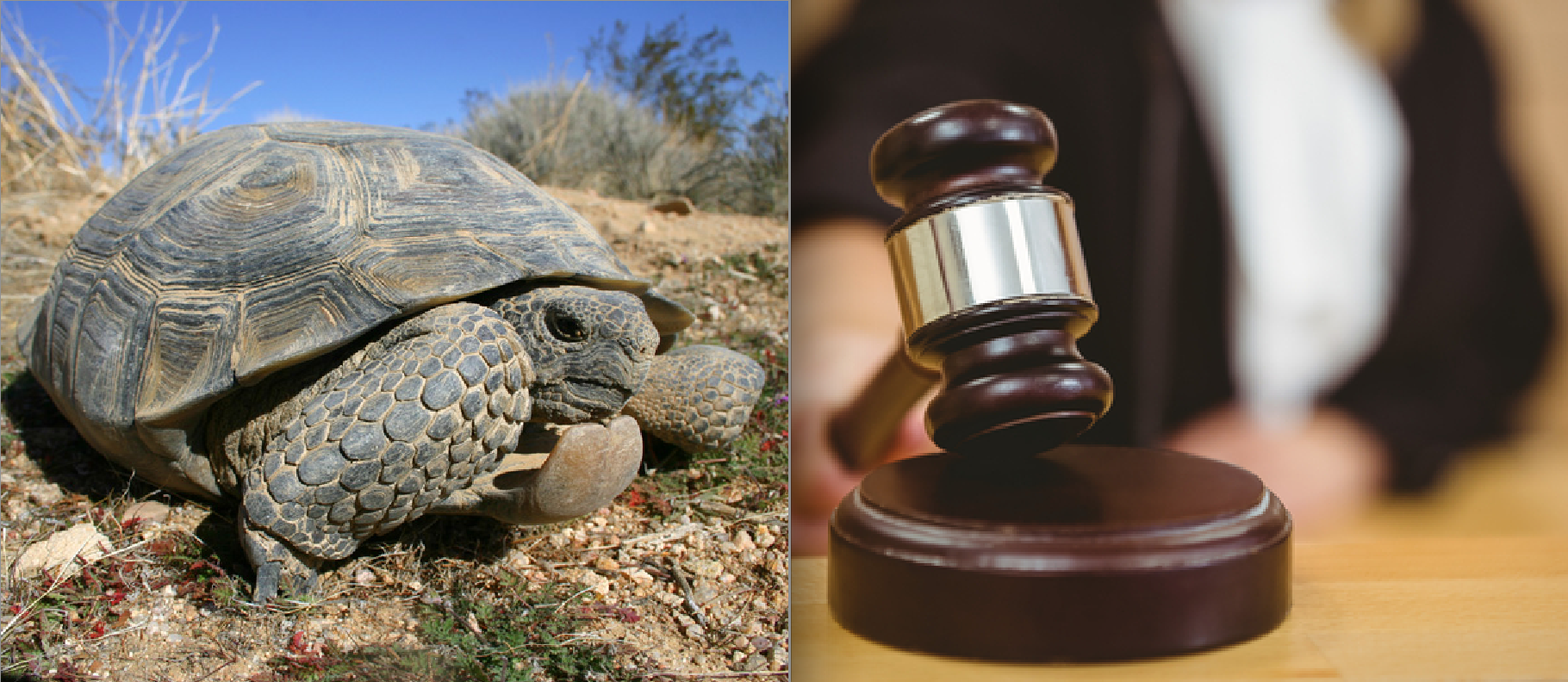 USFWS Says: No Endangered Protection for Sonoran Desert Tortoise — Envrio Orgs Say: Sue You! (With Big Fat Lawsuit)