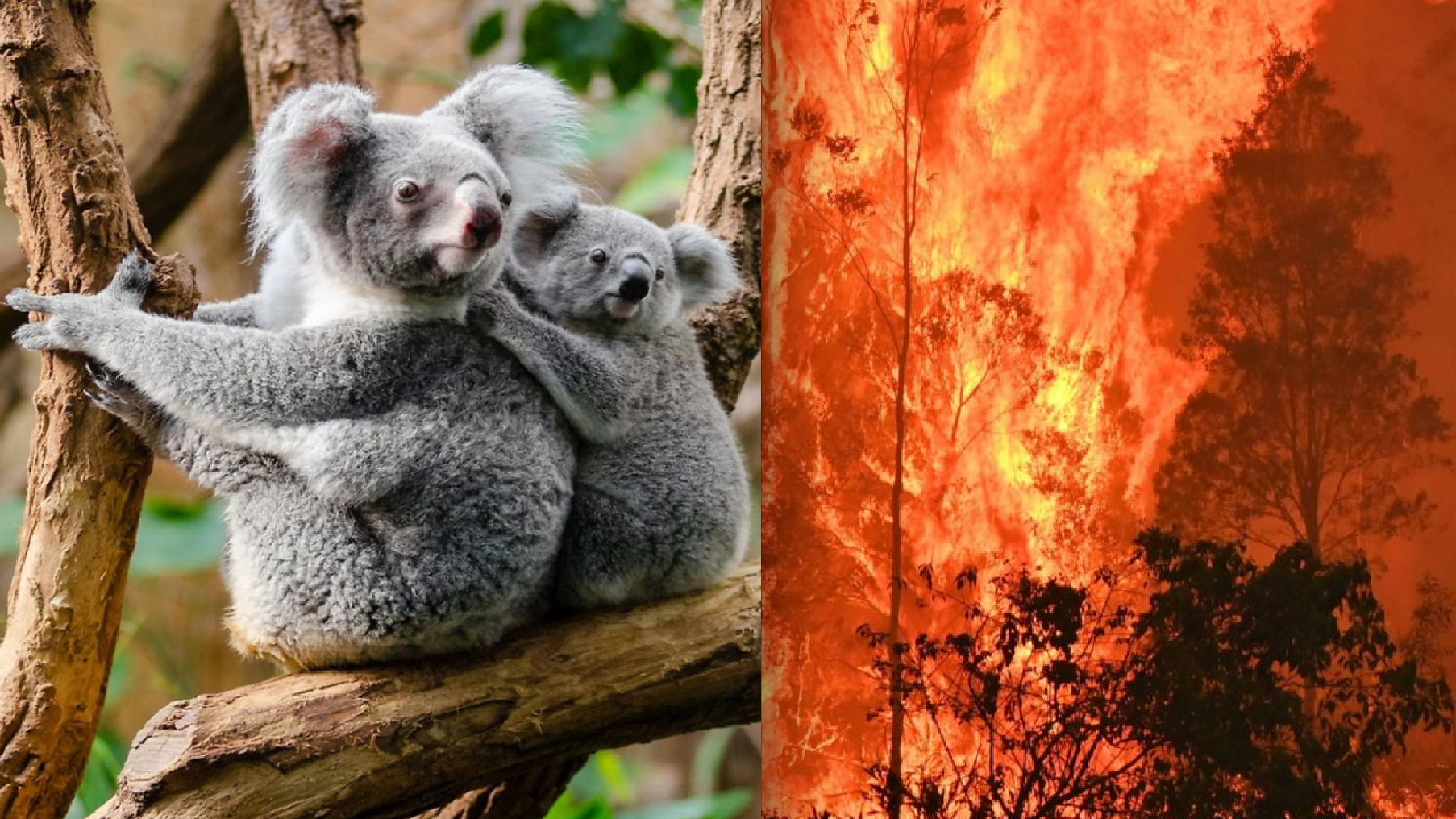 Koala Population Demolished, Thousands Killed Tragically in Sweeping Climate Fires, Imperiled Citizens Try Frantically to Help