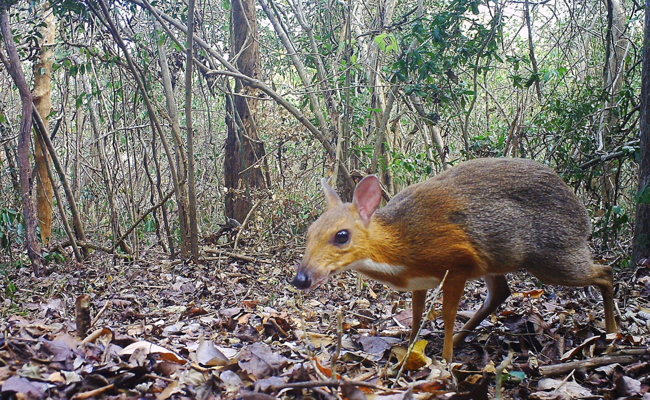 Believed 'Extinct' for 30 Yrs., World's Smallest Hooved Animal, the Vietnam Mouse-Deer, Found Roaming in Remote Forest