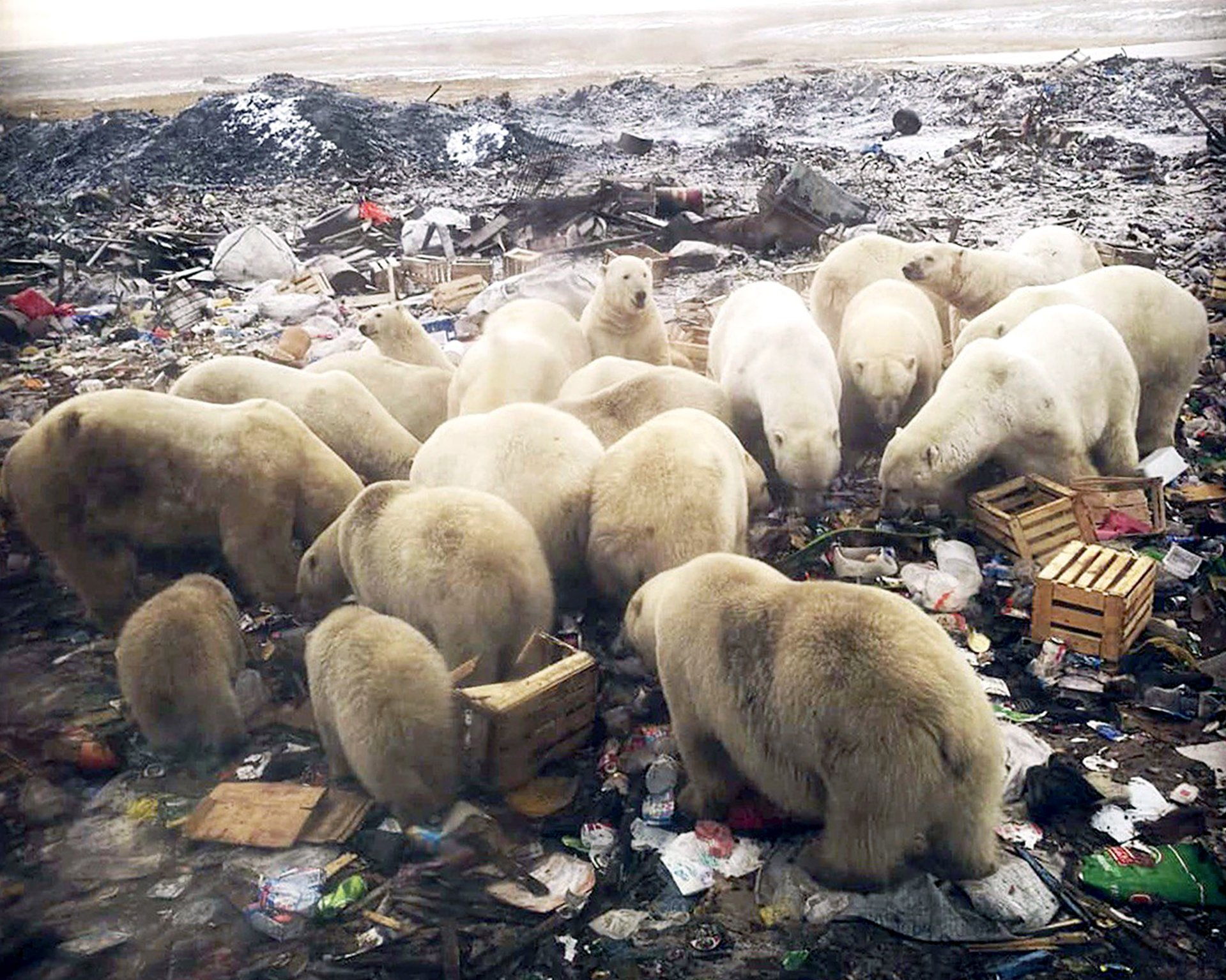 Polar Bear Diet Now 25% Plastic, Russian Researchers Reveal; City Creates 'Alcatraz of Garbage' to Solve Problem