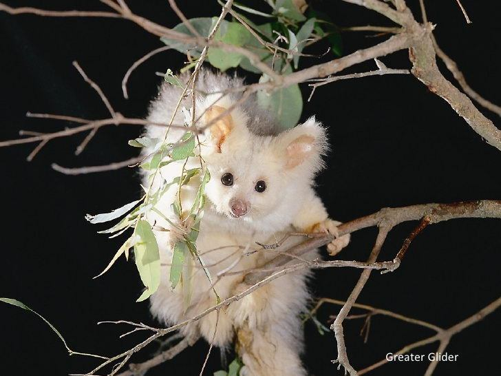 The Plight of the Greater Glider: Australia's Adorable, Flying Marsupial Hurtling Toward Extinction