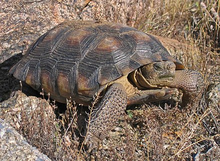 After Joint Lawsuit, USFWS Backs down, Agrees to Consider Sonoran Desert Tortoise for ESA