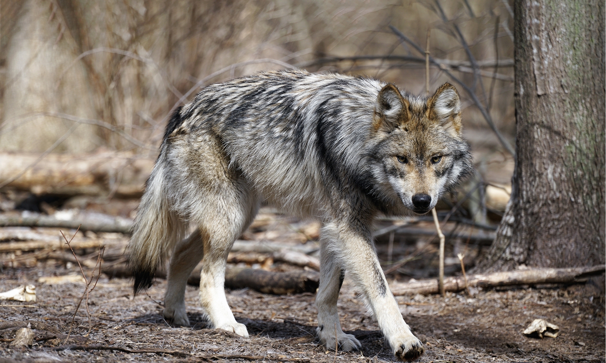 Cattlemen Tell EnviroNews Ranchers Want Mexican Wolves Killed, Despite Being Paid for Livestock Losses