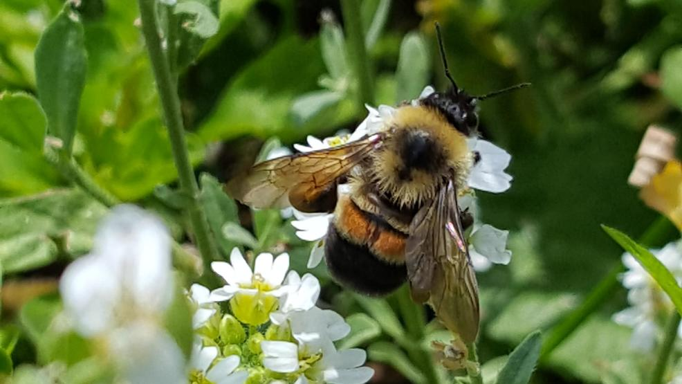 Rusty Patched Ripoff: Trump Admin Says Bumblebee is Endangered, But Won't Give it Any Habitat
