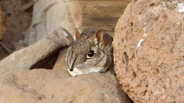 Another 'Extinct' Species Risen From the Dead: Somali Elephant Shrew Found Alive in the Wild