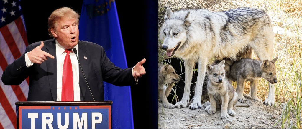 Breaking: Trump Admin Just Stripped Gray Wolves of Endangered Species Act Protection Across Lower 48 States