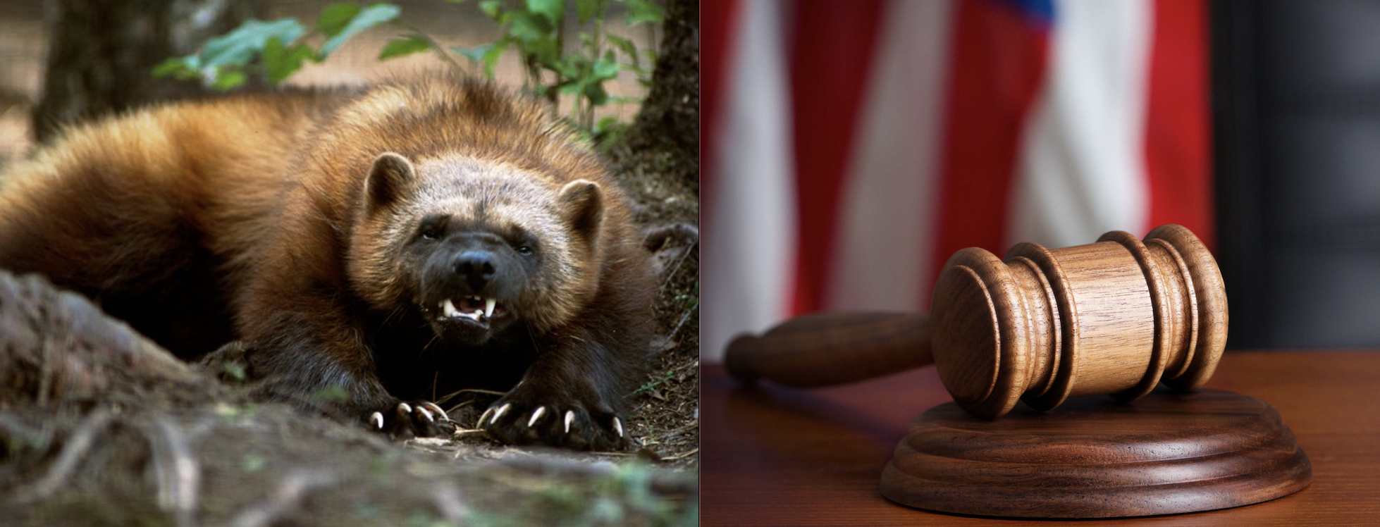 Epic Lawsuits: 24 Wildlife Orgs Sue Trump Admin for Failing to Protect Wolverine After FOIAed Documents Reveal Politically-Motivated ESA Review Process