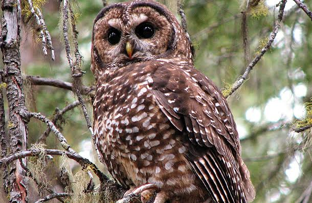 1st Species Screwed by Trump's ESA Rollbacks: Iconic N. Spotted Owl, Robbed of 3.4M Acres of Habitat in OR/WA/CA
