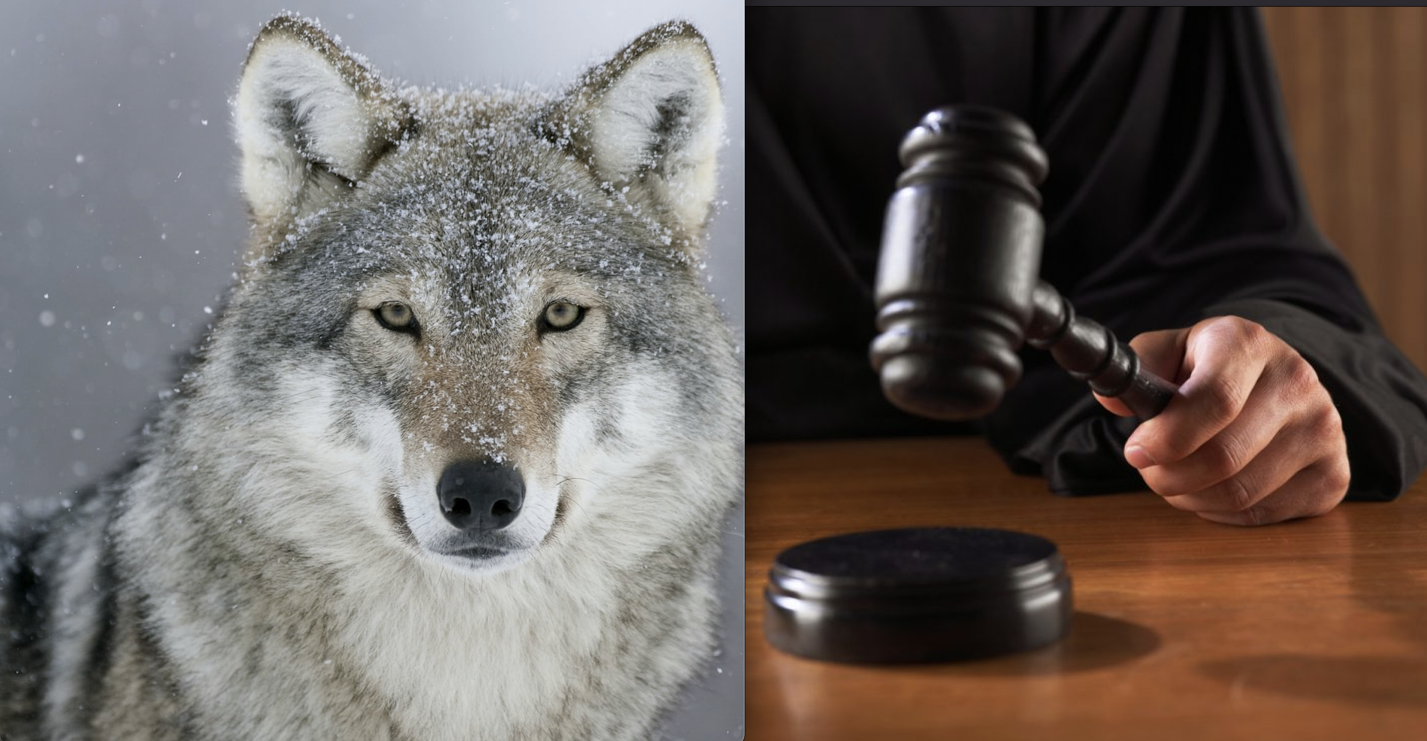 Trump Admin Sued Bigly by 17 Wildlife Orgs for Stripping Gray Wolves of Endangered Status