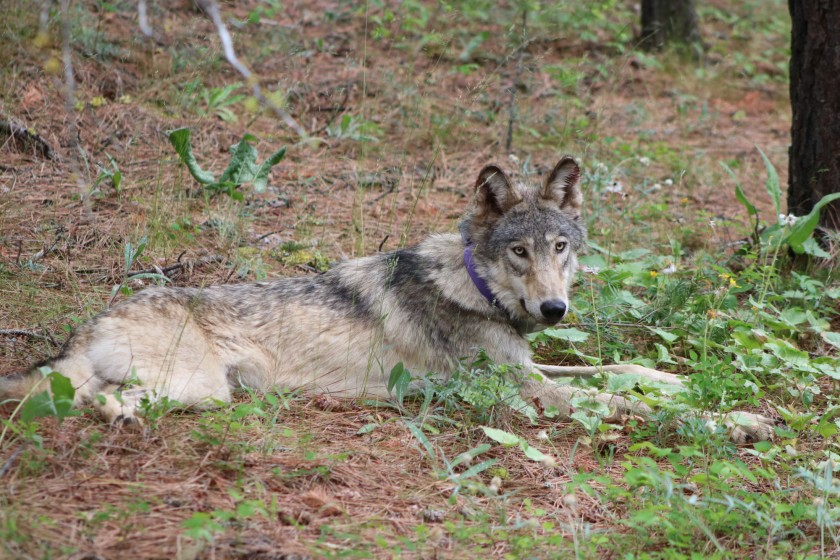 Lone Wolf OR-93 Travels Farther South in CA Than any Wolf Since the 1920s: He's Just East of Yosemite