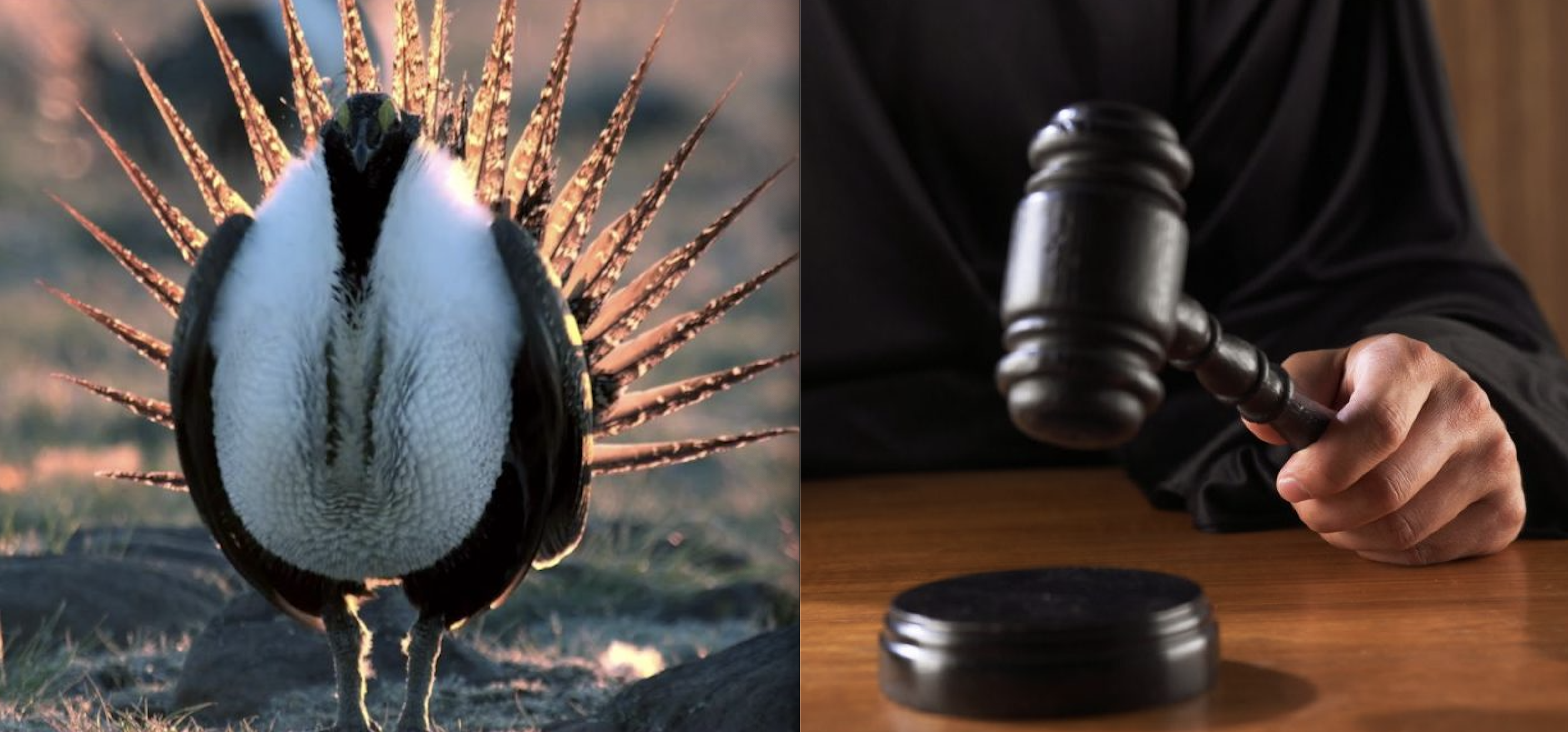 Sage Grouse Wins Big in Court; Trump Admin Rule-Changes Overturned