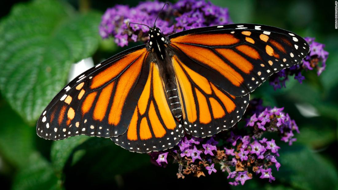 Only 1914 Specimens: W. Monarch Butterfly Nearing Total Collapse; USFWS Does Nothing, Lawmakers Introduce Bills