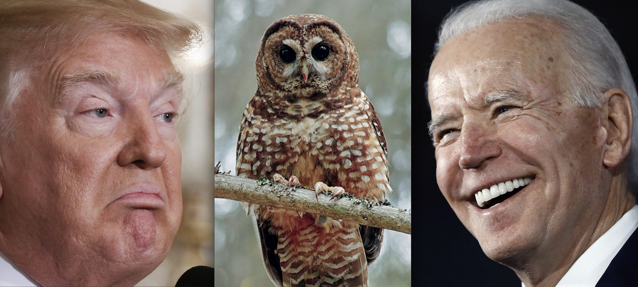 Complete Reversal (Almost): Biden's USFWS Rolling back Trump's N. Spotted Owl Rule That Stripped 3.4M Acres of Habitat from the Bird