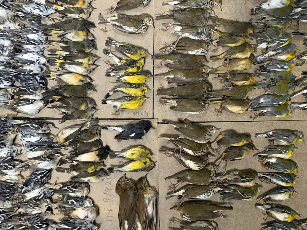 Freak Event: Hundreds of Migratory Birds Fall to Their Deaths After Crashing into NYC Skyscrapers